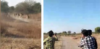 youth chased lion pride in Gujarat amreli dist