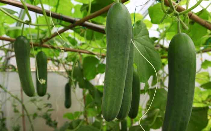 how to grow cucumber at home