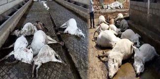 Mystery shrouds death of 103 cows at goshala in Vijayawada
