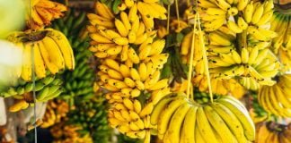 CLIMATE CHANGE COULD SEE SIGNIFICANT DECLINE IN BANANA PRODUCTION BY 2050