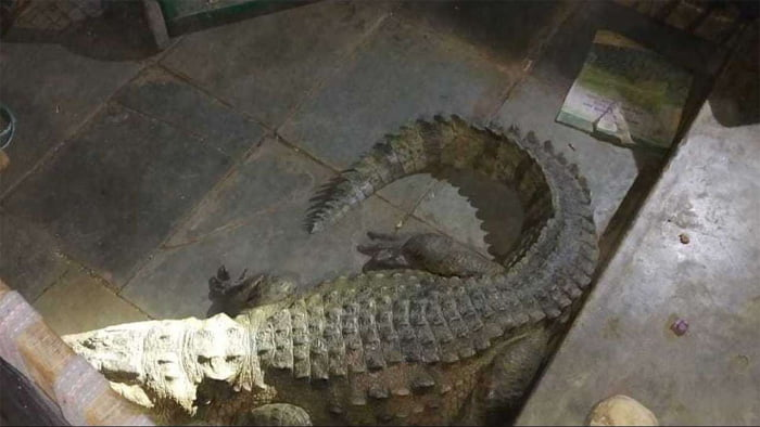 4 and half feet crocodile found in house toilet